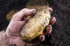 Potato harvesting Stock Images