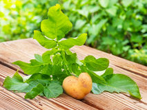 Potato heart, gardening with love Royalty Free Stock Image