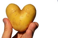 Potato heart or tuber of potato Solanum Tuberosum shaped like heart in fingers of left hand of adult male man, white background. Afternoon summer sunshine Stock Photos