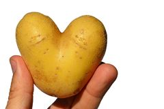 Potato heart or tuber of potato Solanum Tuberosum shaped like heart in fingers of left hand of adult male man, white background. Afternoon summer sunshine Royalty Free Stock Photo
