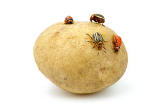 Potato infested with colorado Royalty Free Stock Photos