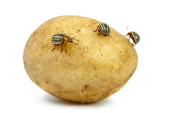 Potato infested with colorado potato beetles Royalty Free Stock Images