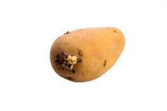 Potato isolated Royalty Free Stock Photos