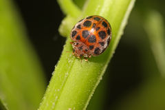 Potato ladybird Royalty Free Stock Images