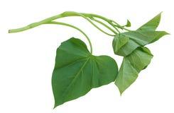 Potato Leaf. Single branch of sweet potato leaves Belacan Yam Leaf royalty free stock image