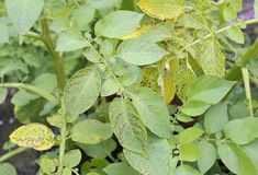 Potato leaf blight fungal disease. Potato leaf blight on maincrop potato foliage, a fungal problem Phytophthora Infestans and is a disease which causes spotting Stock Photography