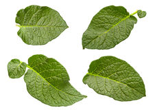 Potato leaf set isolated royalty free stock photos
