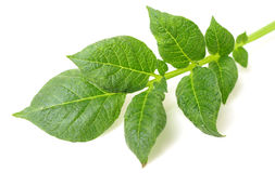 Potato leaf. On a white royalty free stock photos