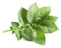 Potato leaf. On a white background Royalty Free Stock Images