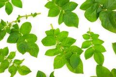 Potato leafs Royalty Free Stock Photos