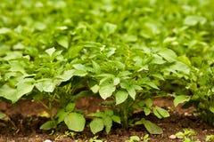 Potato leaves Stock Photography
