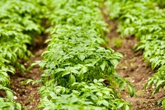 Potato leaves Stock Photography