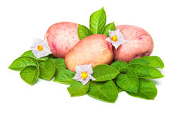Potato with leaves Stock Image