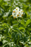 Potato leaves and flowers Royalty Free Stock Photography