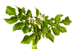 The potato with leaves and flowers Royalty Free Stock Image