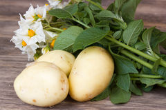 Potato with leaves and flowers. On a wooden background in rustic style. harvest potatoes Stock Photography