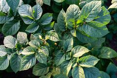 Potato leaves. Green leafs of potatoes as background