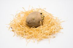 Potato on the nest with isolated white background shooting in studio stock photography