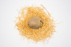Potato on the nest with isolated white background shooting in studio stock images