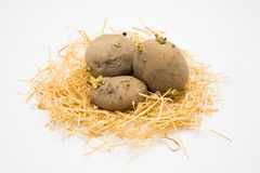 Potato on the nest with isolated white background shooting in studio stock image