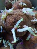 Potato royalty free stock photo