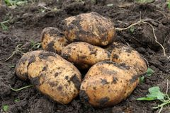 Potato. Picture Freshly dug potatoes on a field Royalty Free Stock Photo