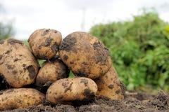 Potato. Picture Freshly dug potatoes on a field Royalty Free Stock Photos