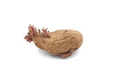 Potato with pink shoots Stock Photo