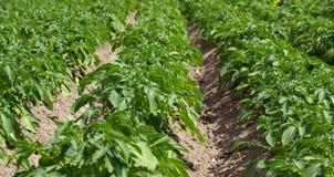 Potato plant 03 Stock Photo