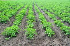 Potato plant Stock Photos