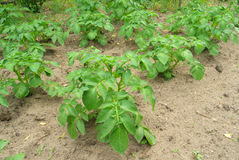 Potato plant royalty free stock photos