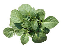 Potato plant. View from above, isolated stock images