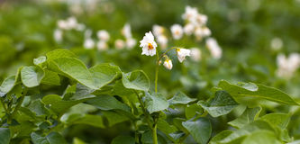 Potato plant. With white blossoms royalty free stock photo