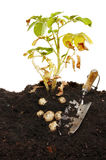 Potato plant. And potato crop in soil with a garden trowel stock photos