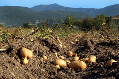 Potato plant royalty free stock photography