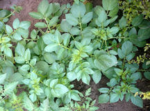 Potato plant. Solanum tuberosum, Solanaceae, cultivated herb with pinnate leaves and underground tubers used as vegetable Stock Photo