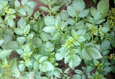 Potato plant. Solanum tuberosum, Solanaceae, cultivated herb with pinnate leaves and underground tubers used as vegetable Royalty Free Stock Photos