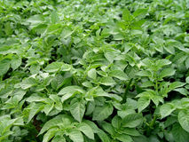 Potato plant. Potato green plant without flower royalty free stock photos