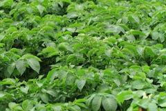 Potato plant background Royalty Free Stock Photography
