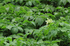 Potato plant background Royalty Free Stock Image