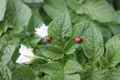 Potato plant with Colorado potato beetles Royalty Free Stock Photo