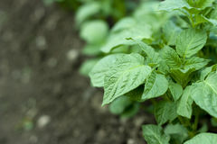 Potato plant. Detail on growing potato plant with place for text Royalty Free Stock Image