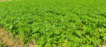 Potato plant on field. Royalty Free Stock Photos