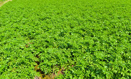 Potato plant on field. Stock Photography