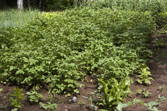 Potato plant on field Royalty Free Stock Photo