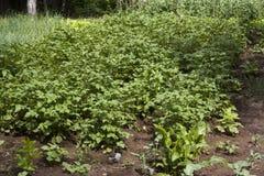 Potato plant on field royalty free stock photo