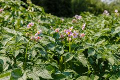 Potato plant flowers blooming in the garden. Potato plant flowers blooming, potatoes plants with flowers growing on farmers field royalty free stock photos