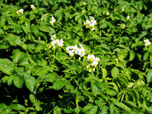Potato plant flowers. Summer, Poland Royalty Free Stock Photography