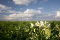 Potato plant flowers on sunny day, Midwest, USA. Potato plant field and flowers on sunny day, Midwest, USA royalty free stock image