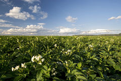 Potato plant flowers on sunny day, Midwest, USA. Potato plant field and flowers on sunny day, Midwest, USA royalty free stock images